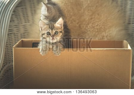 Cute tabby kittens looking in a boxvintage filter