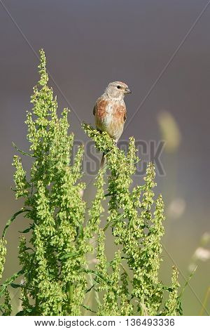 Common Linnet (Carduelis cannabina) sitting on a branch in its habitat