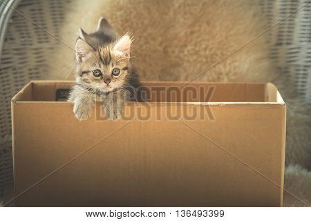 Cute tabby kittens looking in a box
