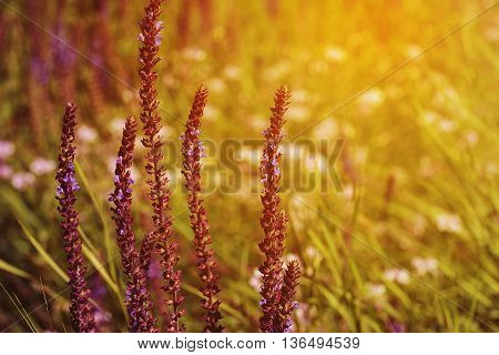 Fresh purple flowers of salvia on field in the evening