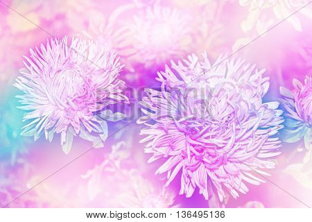 Autumn landscape. colorful beautiful flowers asters on the background of the autumn landscape