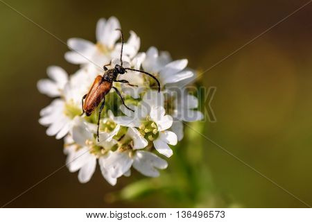 Beautiful natural background with beetle closeup sitting on white flowers on the blurred background of green grass