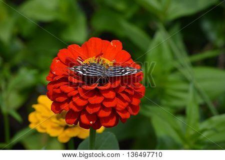 A butterfly on an orange Zinnia flower
