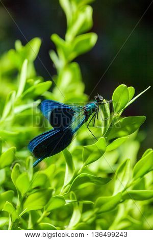 beautiful blue dragonfly on branch. close
