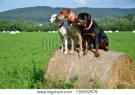 White dog brown ridgeback and black rottweiler sit on roll of straw on green meadow