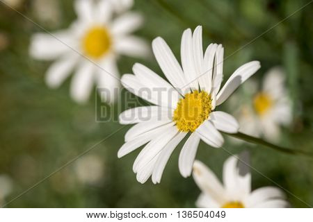 Wild Daisy Flower Field On Summer Season