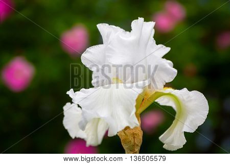 White German iris (or bearded iris) with a background of out of focus pink roses.