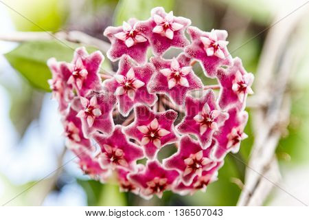 Red Hoya flowers. (Hoya parasitica (Roxb.) with soft green background