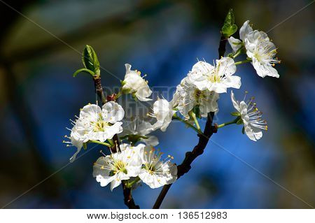 Pretty dainty fresh white spring blossom symbolic of the new season growing on the branch of a tree outdoors in the garden
