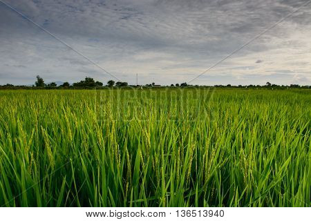 the rice on field and the blue sky