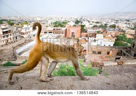 Monkey on a background of the Jaipur Galta Temple in India. The temple is famous for large troop of monkeys who live here