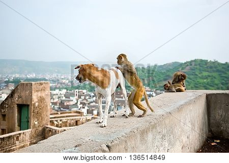 The monkey wants to ride on a dog Galwar Bagh Monkey Temple Jaipur India