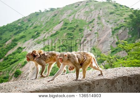 Monkeys carry young. Galwar Bagh Monkey Temple Jaipur India