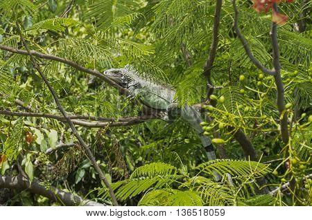 An iguana sitting on a branch in a tree on St. John island.