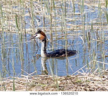 Great crested grebe protecting its nest in the reed straw
