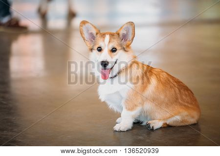 Funny Happy Welsh Corgi dog. The Welsh corgi is a small type of herding dog that originated in Wales