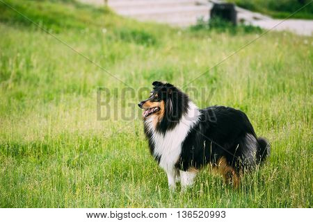 Shetland Sheepdog, Sheltie, Collie Outdoor In Summer Grass At Evening. This Breed Of Herding Dog. They Are Vocal, Excitable, Energetic Dogs Who Are Always Willing To Please And Work Hard
