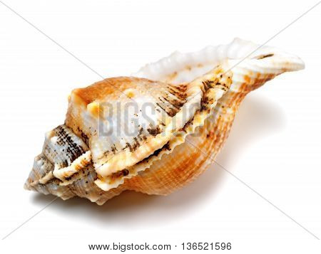 Shell of frog snail (Tutufa bubo) isolated on white background. Close-up view.