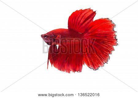 The Siamese Fighting Fish, Betta Fish