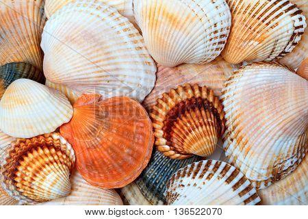 Shells Of Anadara And Scallops