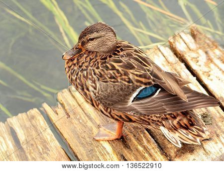 Closeup view of a duck over the blur background