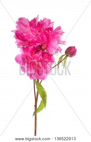 Branch Of Pink Peony Flowers
