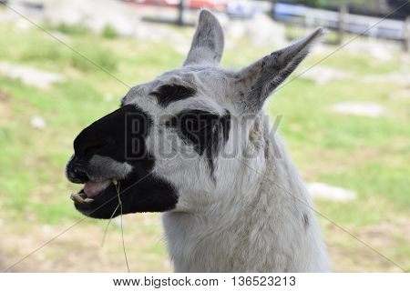 Head of a chewing black and white llama in a park in the North of Sweden.