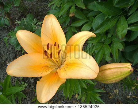 Orange lily flower in the garden (orange flower)