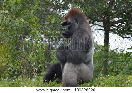 An adult Lowland Mountain Gorilla relaxing outside
