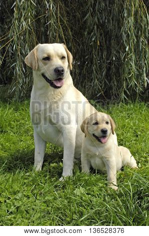 vertical picture of dogs. labrador in a garden