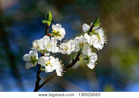 Fresh white spring blossom and unopened buds on the branch of a tree outdoors in sunlight
