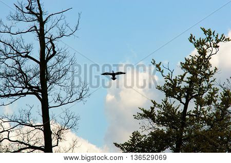 Single large bird with widespread wings open between two back lit old trees and blue sky in background