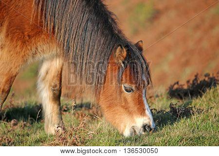 Wild Pony grazing on a grassy field