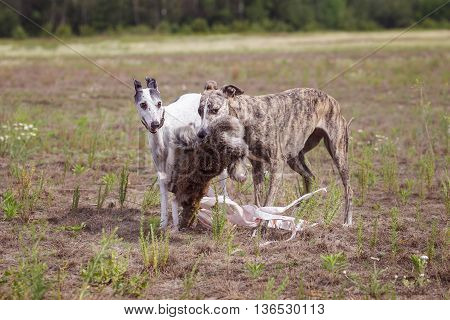 Coursing. Two Whippet Dogs At The Finish With The Bait