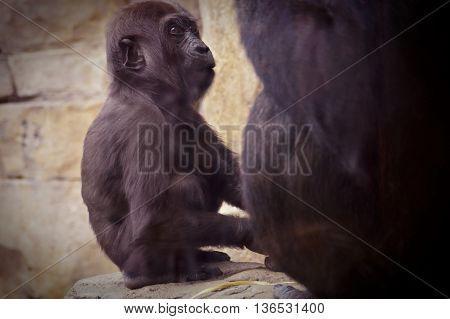 A baby Lowland Mountain Gorilla with her mother