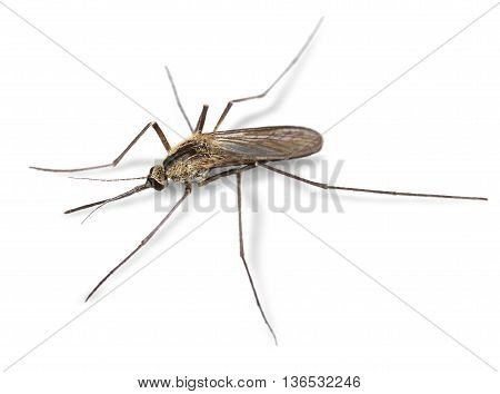 Common mosquito insect close-up macro isolated on white