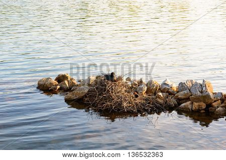 Moorhen with chicks sitting on her nest constructed of dried twigs on the water of a tranquil lake against an outcrop of rocks copy space above