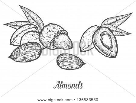 Almond Nut Seed Vector. Isolated On White Background. Almond Milk Food Ingredient. Engraved Hand Dra
