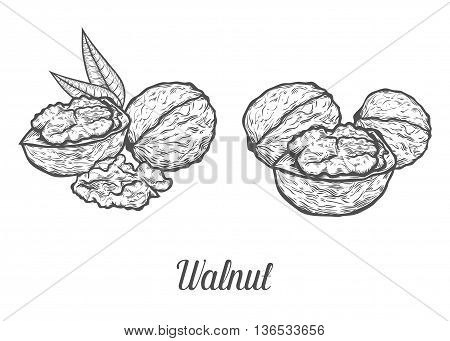 Walnut Nut Seed Vector. Isolated On White Background. Walnut Food Ingredient. Engraved Hand Drawn Il