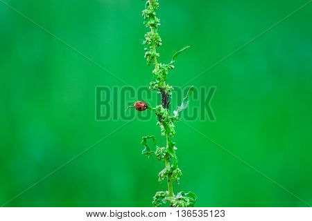 Ladybug beetle.Ladybug on the grass.Green -red background