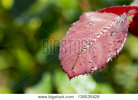 Water drop on red rose leaf after rain abstract background