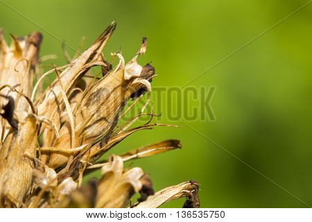 withered old plant close up abstract background