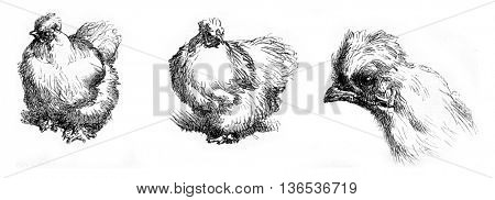 Hen race, vintage engraved illustration. Magasin Pittoresque 1861.