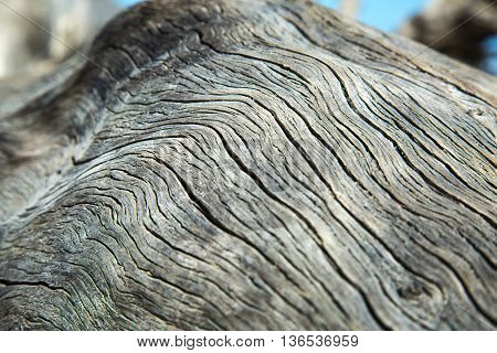 A close up of a dead driftwood tree on the beach.