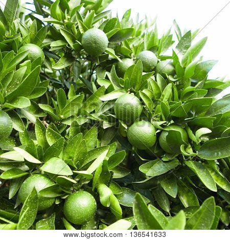 Outdoors Shot Of Green Tangerine Tree Fruits