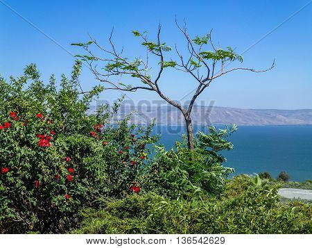 Flowering shrub with red flowers, the view from the hill on the Sea of Galilee and the mountains in Israel