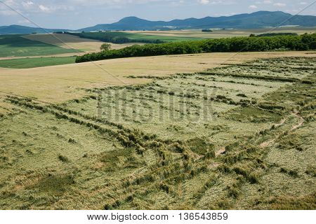 Agricultural land with unripened wheat destroyed by storm