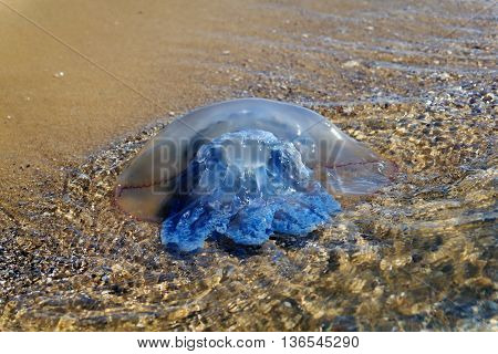 Sea. Medusa Near The Shore. Sun