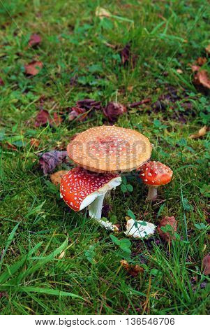 Red poisonous mushrooms in the forest, green grass. No people, color photo.