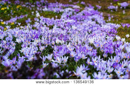 many crocuses completely covered in a clearing. the first tender spring lilac, purple flowers in open areas in the morning.